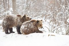 Bear cubs playing in snow. Animal, mammal, wild, wildlife, cute, arctic, polar, winter, young, predator, family, baby, carnivore, nature, playful, little royalty free stock image