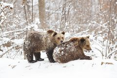 Bear cubs playing in snow. Animal, mammal, wild, wildlife, cute, arctic, polar, winter, young, predator, family, baby, carnivore, nature, playful, little stock photography