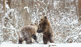Bear cubs playing in snow. Animal, mammal, wild, wildlife, cute, arctic, polar, winter, young, predator, family, baby, carnivore, nature, playful, little stock photo