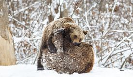 Bear cubs playing in snow. Animal, mammal, wild, wildlife, cute, arctic, polar, winter, young, predator, family, baby, carnivore, nature, playful, little royalty free stock photo