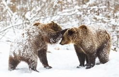 Bear cubs playing in snow. Animal, mammal, wild, wildlife, cute, arctic, polar, winter, young, predator, family, baby, carnivore, nature, playful, little royalty free stock photography