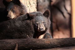 Bear Cubs. On a rock Stock Images