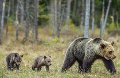 She-Bear and Cubs in the summer forest. She-Bear and Cubs of Brown bear Ursus Arctos Arctos on the swamp in the summer forest. Natural green Background Royalty Free Stock Images