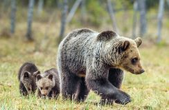 She-Bear and Cubs in the summer forest. She-Bear and Cubs of Brown bear Ursus Arctos Arctos on the swamp in the summer forest. Natural green Background Stock Photos