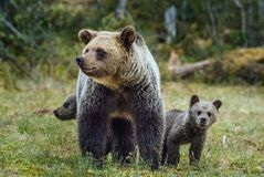 She-Bear and Cubs in the summer forest. She-Bear and Cubs of Brown bear Ursus Arctos Arctos on the swamp in the summer forest. Natural green Background Stock Image