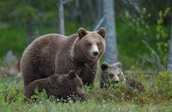 Bear cubs with their mother she-bear Royalty Free Stock Photo