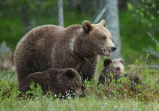 Bear cubs with their mother she-bear Royalty Free Stock Images