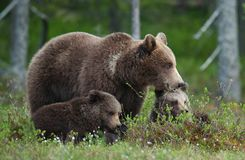 Bear cubs with their mother she-bear in the summer forest. Stock Photography