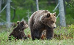 Bear cubs with their mother she-bear Stock Image