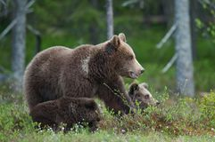 Bear cubs with their mother she-bear Stock Images