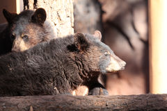 Bear cubs. Together in Northern Arizona Stock Photography