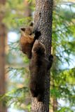 Bear cubs on tree Royalty Free Stock Photo