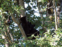 Bear cubs in a tree Royalty Free Stock Images