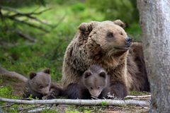 Brown bear with cub in forest Stock Image