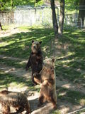 Bear cubs at the zoo dancing. Brown Bear. Spring Stock Image