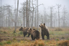 Bear with cups. In a misty autumn morning Royalty Free Stock Image