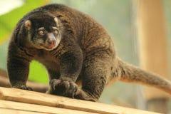 Bear cuscus royalty free stock photos
