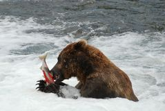 A Bear Dinner Royalty Free Stock Image