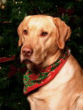 Bear the Dog. Bear the Yellow Labrador Retriever at Christmas time Royalty Free Stock Image