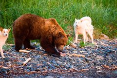 Bear and dog. Bear with a toddler running along the littoral Royalty Free Stock Images