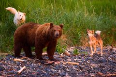 Bear and dog. Bear with a toddler running along the littoral Stock Photography