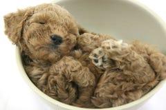 Bear or dog?. A sleeping teddy bear dog Royalty Free Stock Images