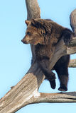 Dreaming bear Royalty Free Stock Images