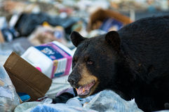 Bear at the dump. Black bear at a garbage dump eating garbage in haliburton county ontario canada stock image