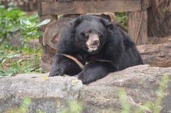 Bear. In dusit zoo,thailand Royalty Free Stock Photos