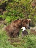 The Bear & The Eagle Stock Photo