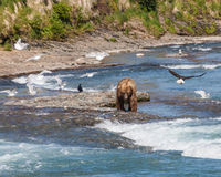 Bear and Eagle. A bald eagle and seagulls hoping for leftover salmon from the bears, at McNeil River in Alaska Royalty Free Stock Image