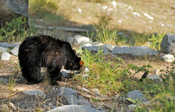 Bear eating berries in Sequoia NP Stock Photo