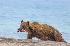 Bear eating fish stock images