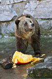 Bear Eating a Pumpkin. Vertical shot of a large brown bear in a zoo exhibit eating a pumpkin Royalty Free Stock Photo