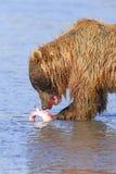 Bear Eating Salmon Stock Images