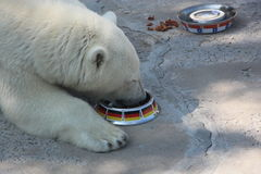 She-bear eats from a bowl with the flag of Germany Stock Photos
