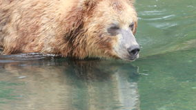 Bear eats fish stock video footage
