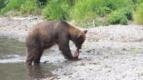 Bear eats fish stock footage