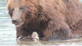Bear eats fish stock video
