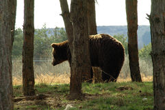 Bear in the edge of forest. A brown bear (Ursus arctos) looking from trees Stock Photography
