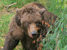 Bear encounter Stock Image