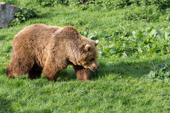 Bear in evening light. Brown Bear walking in evening sun lights Stock Photos