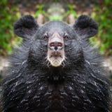 Bear face close up Stock Photo