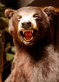 Brown bear. A Grizzly brown bear face showing his teeth royalty free stock photos