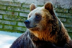Bear face. Photos and graphic effect. Profile portrait. Stock Image