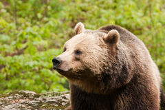 Bear facing left Stock Images