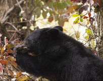 Bear in Fall Foliage Stock Photography