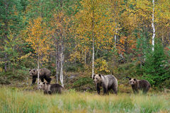 Bear family in autumn Royalty Free Stock Images