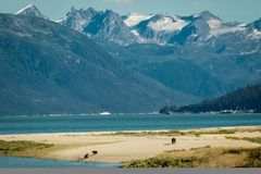 Bear family on sandy beach in Haines, Alaska. Bear family on sandy beach in Haines in Alaska, bears sourrended by beatiful majectic mountaines in Alaska, part of stock photo