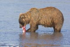 Bear Feeding on Salmon Stock Photos